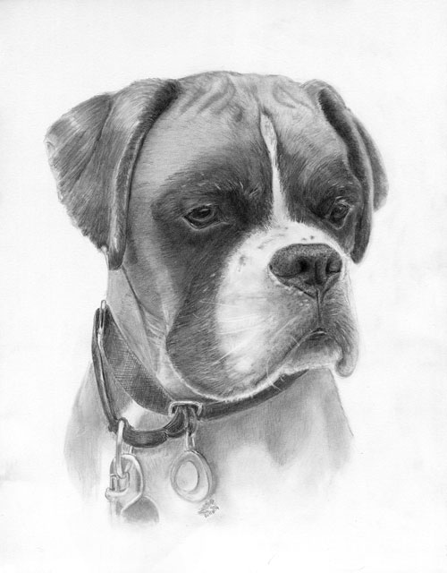 a portrait of a boxer in pencil